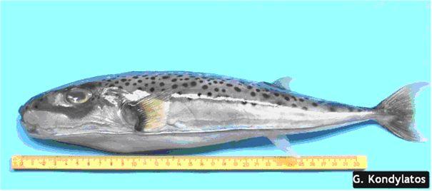 lagocephalus-sceleratus5